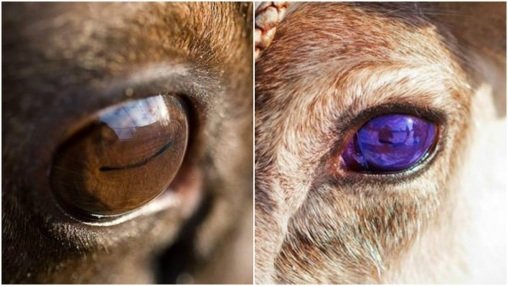 Bilderesultat for reindeer eyes change color